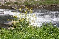 春の花 2015.3.16 006.jpg